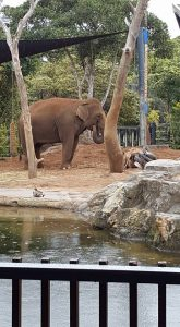 Gung the male Asian Elephant